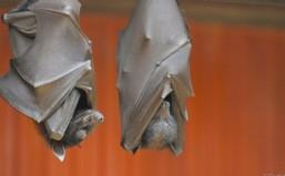 Έμπολα: νυχτερίδες η αιτία της μόλυνσης;