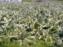 Ζημιές σε καλλιέργειες στην Πελοπόννησο προκάλεσε ο παγετός