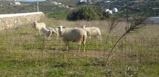 Βεβαίωση για κτηνοτρόφους η γεωργούς στο  κτίριο της τεχνικής υπηρεσίας του Δήμου Μυκόνου