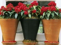 Όλα όσα πρέπει να ξέρεις για τα φυτά των Χριστουγέννων