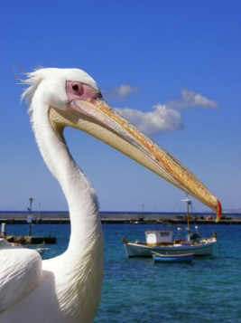 Peter the Pelican