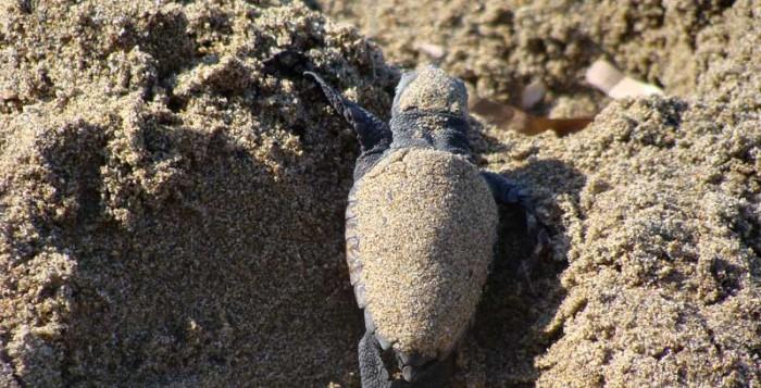 Νεκρή καρέτα - καρέτα σε παραλία της Μυκόνου