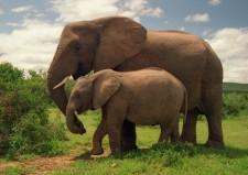 Ταϊλάνδη: Ελέφαντες προκαλούν χάος σε εθνικό πάρκο