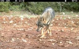 Επανεμφάνιση του λύκου στον Εθνικό Δρυμό της Πάρνηθας μετά από 50 χρόνια