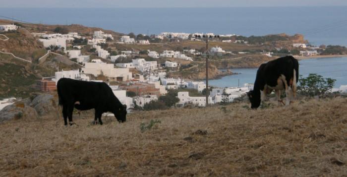 Ανακοίνωση προς κτηνοτρόφους για την ποσόστωση του αγελαδινού γάλακτος