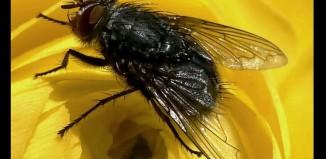 Οι μύγες νιώθουν φόβο και άλλα συναισθήματα