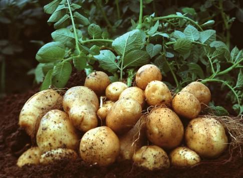 Στρεμματική επιχορήγηση σε καλλιεργητές εαρινής πατάτας
