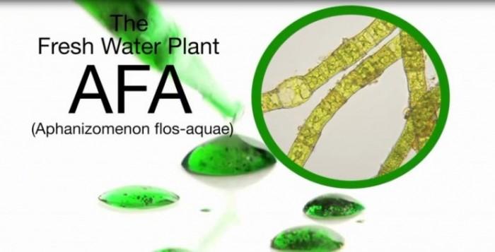 Γαλαζοπράσινα φύκια (A.F.A.) – Η πρώτη μορφή ζωής και αυτοίασης