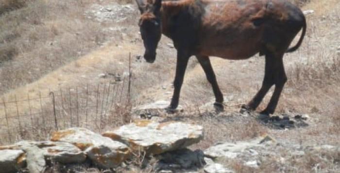 Το πέδικλο (μπαστούρα) ως μέσο προστασίας των ζώων - Αθωώθηκε κατηγορούμενος στη Σύρο