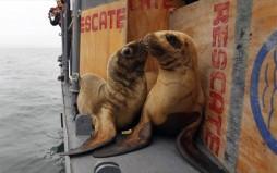 Εκατοντάδες νεκροί θαλάσσιοι λέοντες ξεβράστηκαν στο Περού