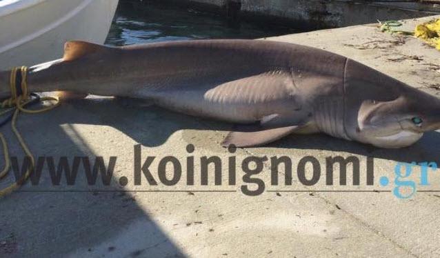 Καρχαριοειδές 2,5 μέτρων αλιεύτηκε στις Κυκλάδες