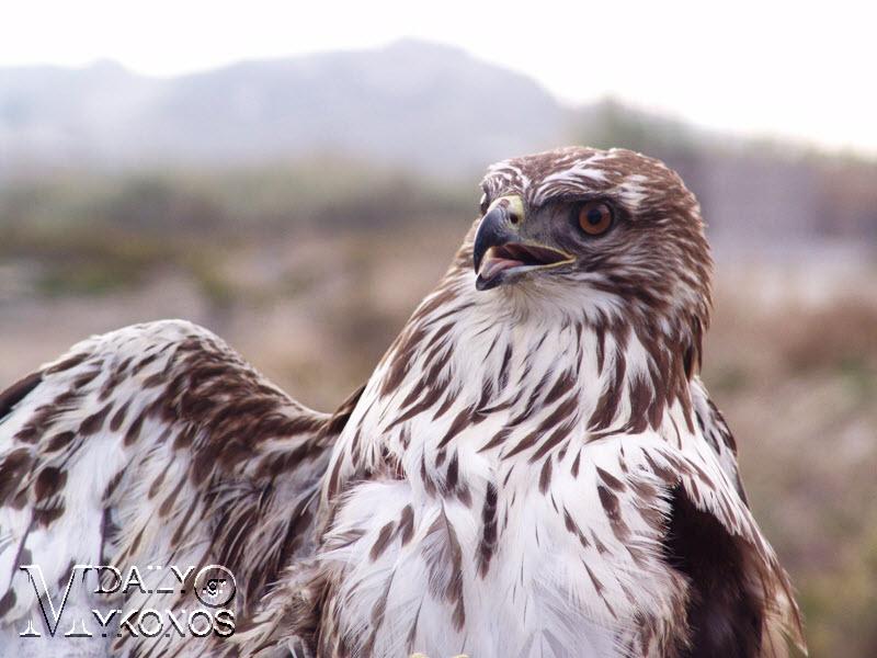 Ευρωπαϊκή γιορτή πουλιών στη Μύκονο στις 11 Οκτωβρίου