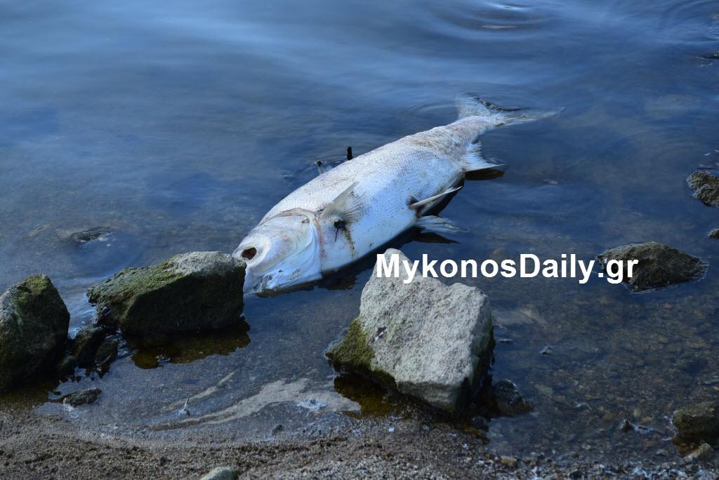 Ανακοίνωση της ΔΕΥΑΜ για τα νεκρά ψάρια στο φράγμα