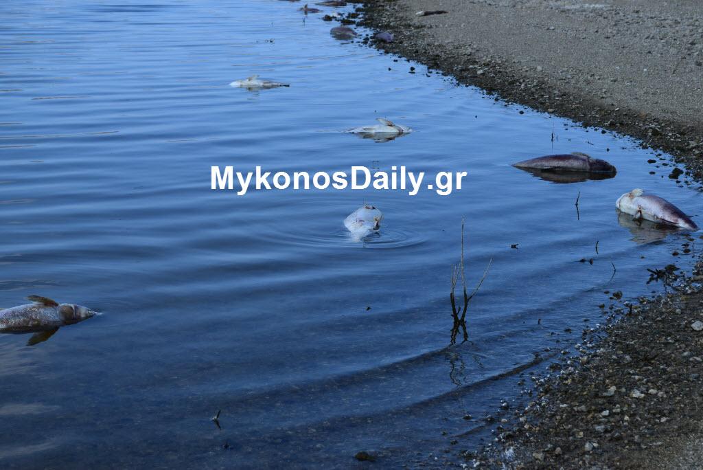 (δείτε φωτο) Δεκάδες νεκρά ψάρια στο φράγμα του Μαραθιού