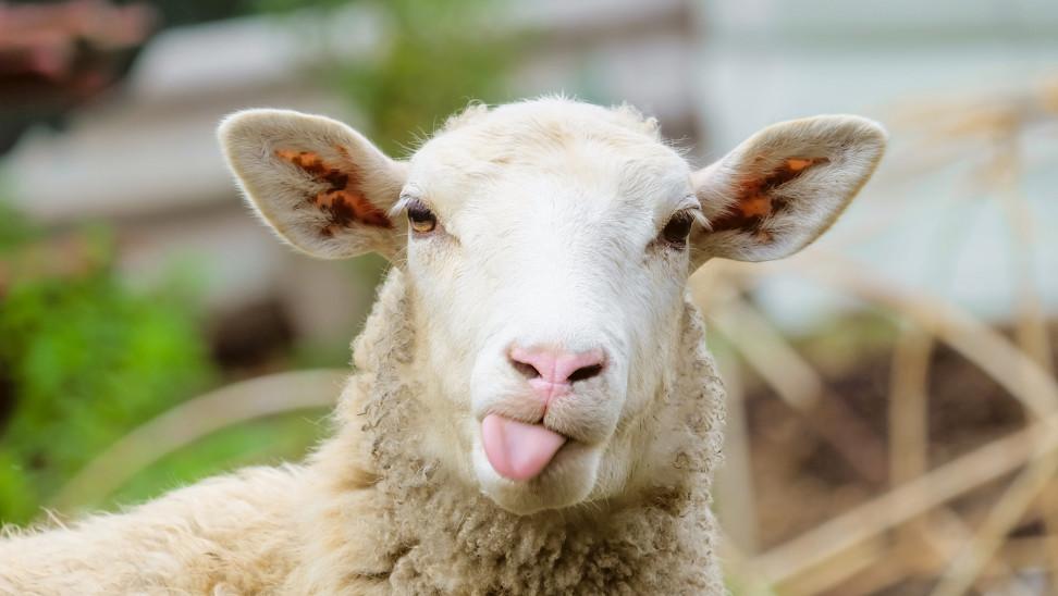 Πρόβατο με GPS οδήγησε στη σύλληψη ζωοκλεφτών στην Κρήτ