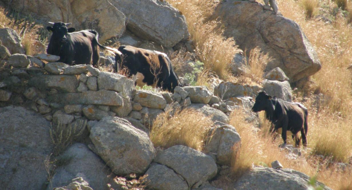 Ανακοίνωση του Δήμου Μυκόνου για τους κτηνοτρόφους