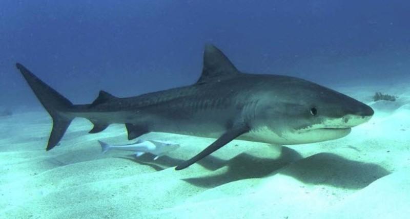 Καρχαρίας 5 μέτρων πιάστηκε στα δίχτυα ψαρά