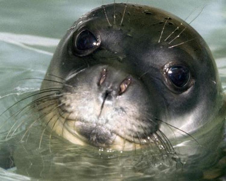Επιτακτική ανάγκη η δημιουργία θαλάσσιου πάρκου στη Γυάρο για την προστασία της Μονάχους - Μονάχους