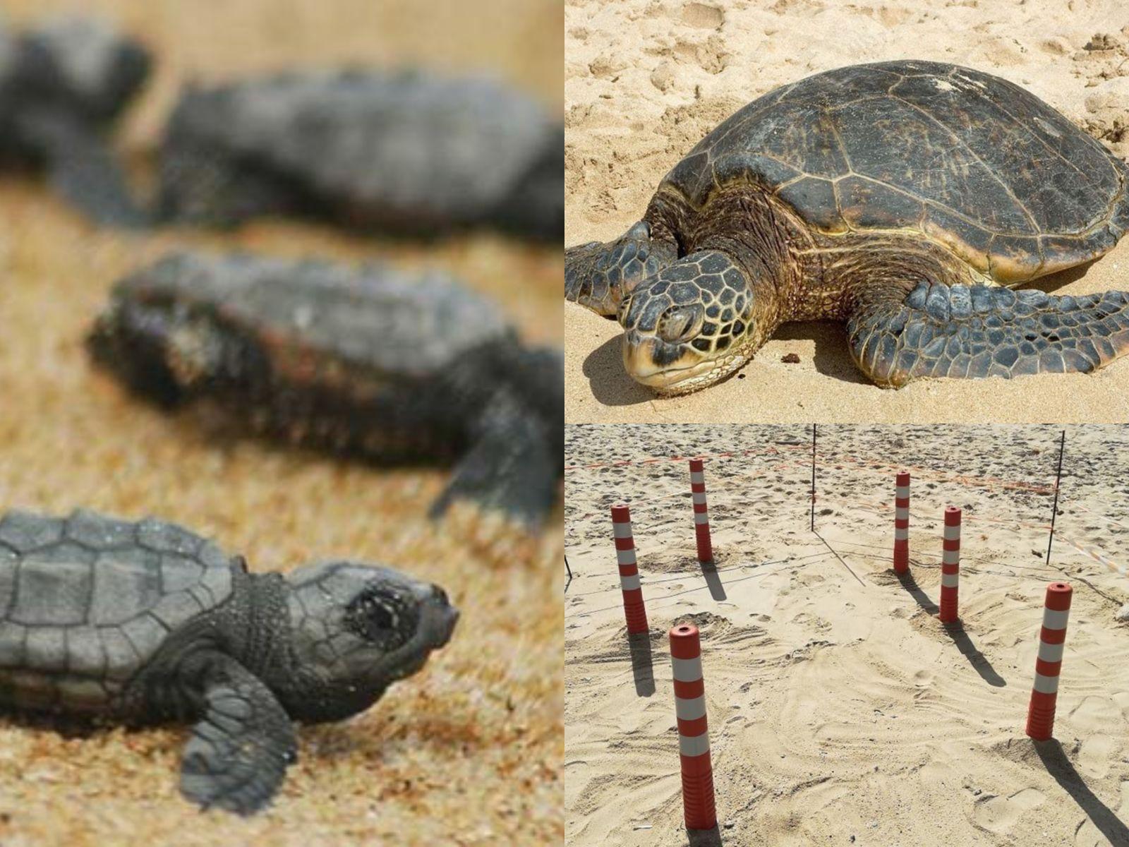 Βρέθηκε φωλιά χελώνας Caretta – caretta στην παραλία του Άη Γιάννη