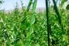 Μέχρι της 15 Ιουνίου οι αιτήσεις για χορήγηση στρεμματικής ενίσχυσης για καλλιεργητές φασολιών