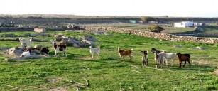 Οι επιπτώσεις της κλιματικής αλλαγής στις κατσίκες