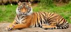 Ινδία: Αύξηση του πληθυσμού των τίγρεων